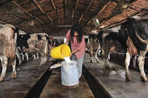 A farmer pours the fresh milk at a dairy farm in Shenyang, China on Sept. 20. (AP)