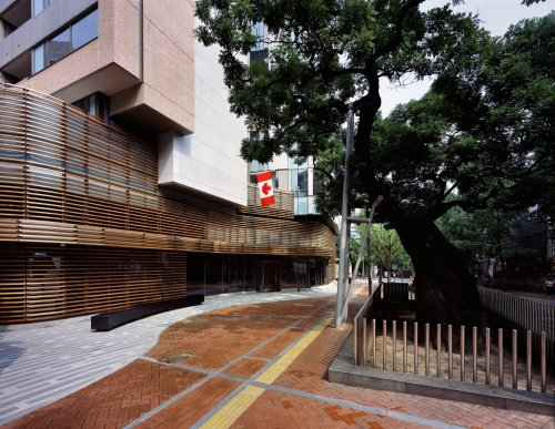 520-year-old tree outside the Canadian Embassy in Jeong-dong. (Canadian Embassy)