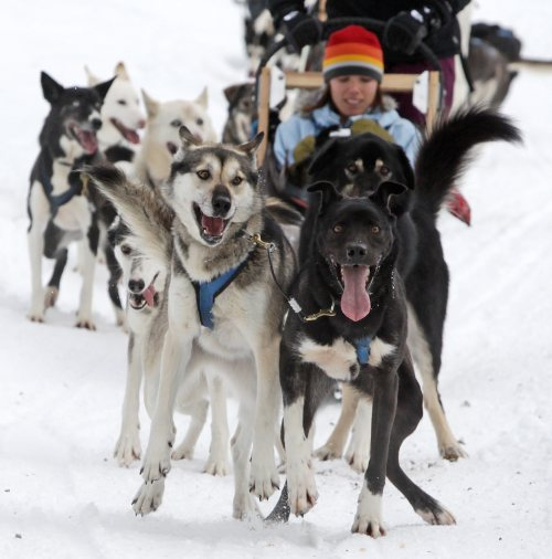 Sled dogs pull a tourist during a tour run by Outdoor Adventures in the Soo Valley north of Whistler, British Columbia, Canada, on Monday, Jan. 31, 2011. (AP-Yonhap News)