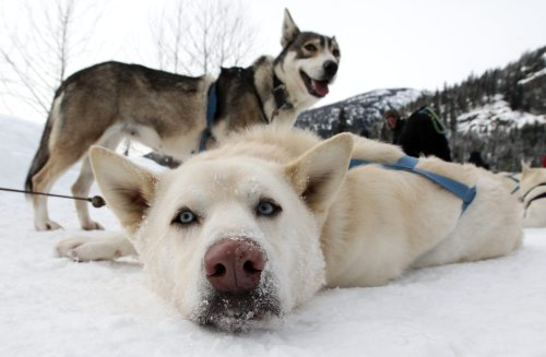 Sled dogs rest after returning from a tour run by Outdoor Adventures in the Soo Valley north of Whistler, British Columbia, Canada, on Monday, Jan. 31, 2011. (AP-Yonhap News)