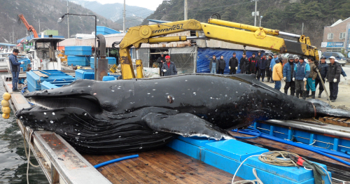 A humpback whale found dead in a fishing net (Yonhap News)