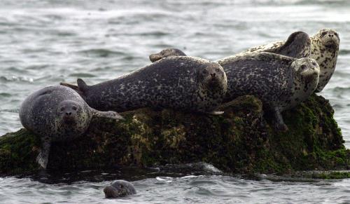 Seals enjoy sunbathing on the shores of Baengnyeong Island. (Ongin County)