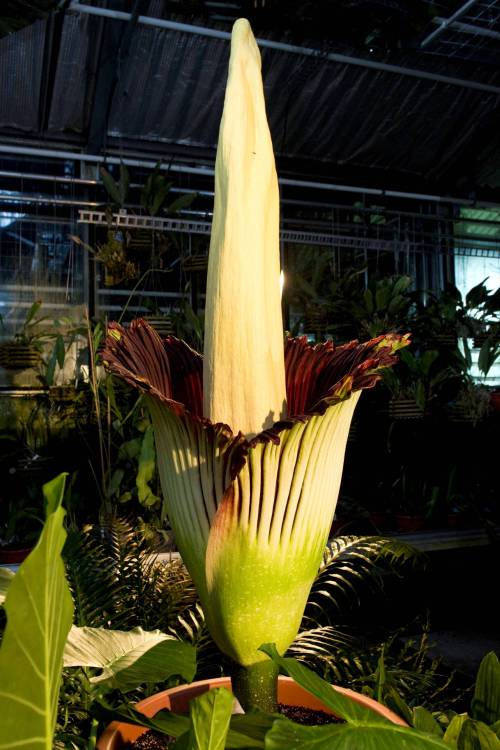 A blooming Titan Arum (amorphophallus titanum) is pictured in the botanical garden of the university of Basel, in Basel, Switzerland, Friday, April 22, 2011. Thousands of plant lovers have flocked to the northern Swiss city of Basel to see a giant, stinky flower bloom for the first time in 17 years. The Basel Botanical Gardens expects 10,000 people to see its amorphophallus titanum, or corpse flower, in full glory before the bloom wilts late Saturday or Sunday.(AP-Yonhap News)
