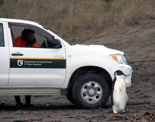 A emperor penguin stands nearby a truck that will transfer it to Wellington Zoo, on Kapiti Coast, some 60 km north of Wellington, New Zealand, on Saturday. (Xinhua-Yonhap News)