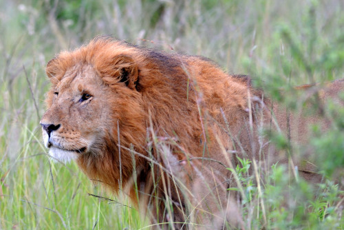 A lion gazes at his game.
