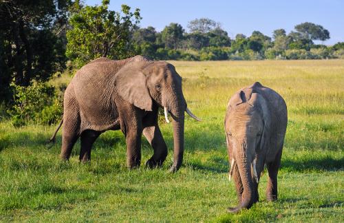 Two elephants roam about.