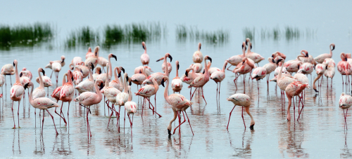 Lake Nakuru is a haven for birds.
