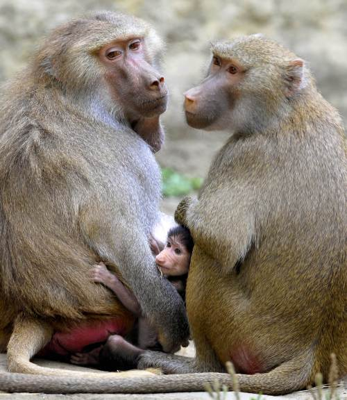 A baby baboon monkey (Papio hamadryas), born in captivity two months ago, remains amid other baboons at the zoo in Cali, Valle del Cauca department, Colombia, on July 14, 2011. (AFP-Yonhap News)