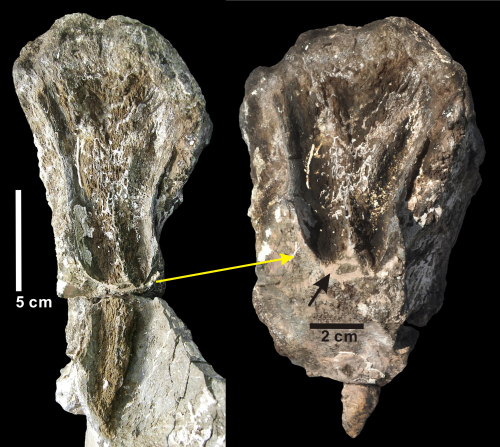 The tooth-marks found on a bone of a herbivorous dinosaur from the early Cretaceous period (left) and an enlarged image of part of the bone. (Pukyong National University)