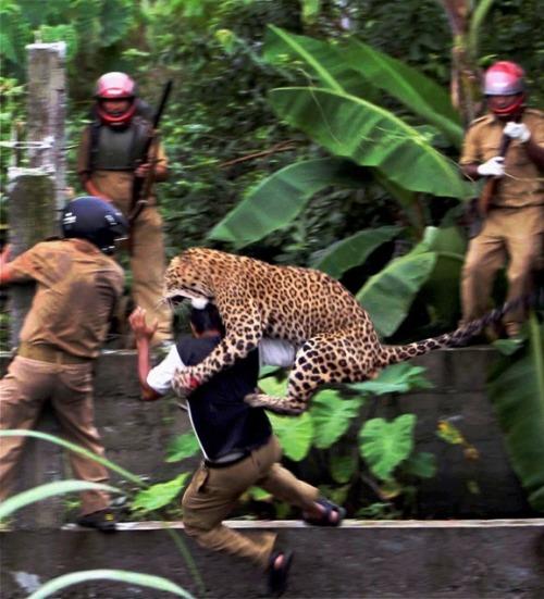 In this July 19, 2011 photo, a leopard attacks a forest guard at Prakash Nagar village near Salugara, on the outskirts of Siliguri, India. (AP)