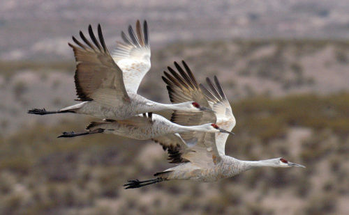 This photo courtesy of Arizona Game and Fish Department shows sandhill cranes in flight. (AP-Yonhap News)