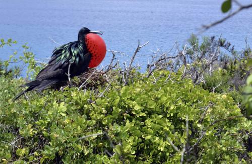 A frigatebird on the Galapagos islands, an archipelago off Ecuador's Pacific coast. (AP-Yonhap News)