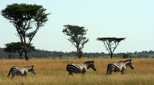 A trio of zebra marches across the great plains of the Serengeti at Singita Grumeti Reserve. (MCT)