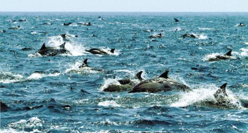 Common dolphins swim near Ulsan's coast. (Whale Cultural Foundation)