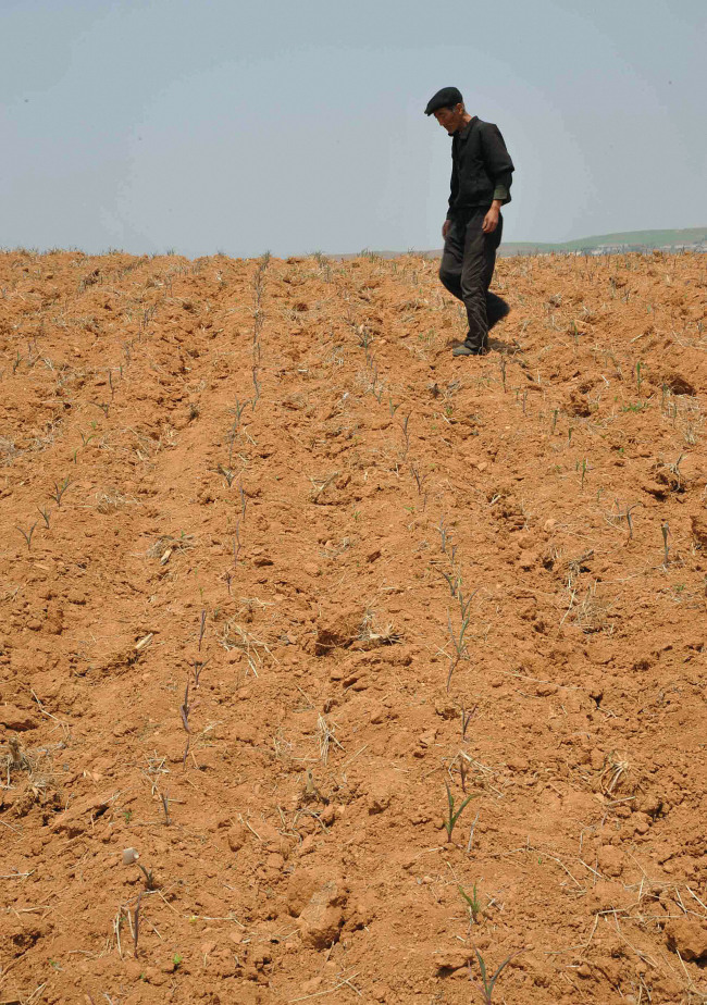 A farmer surveys the crop at a drought-stricken field in North Korea's Nampo, South Pyongan Province on Friday. (Yonhap News)