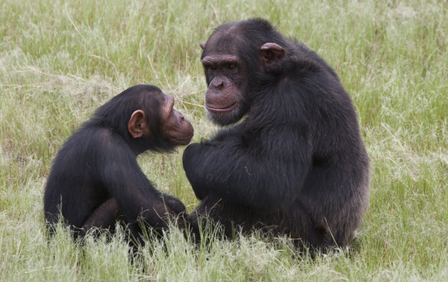 Chimpanzees sit at the Chimp Eden rehabilitation center near Nelspruit, South Africa, where a man was brutally attacked by two chimpanzees on Thursday. (AP-Yonhap News)