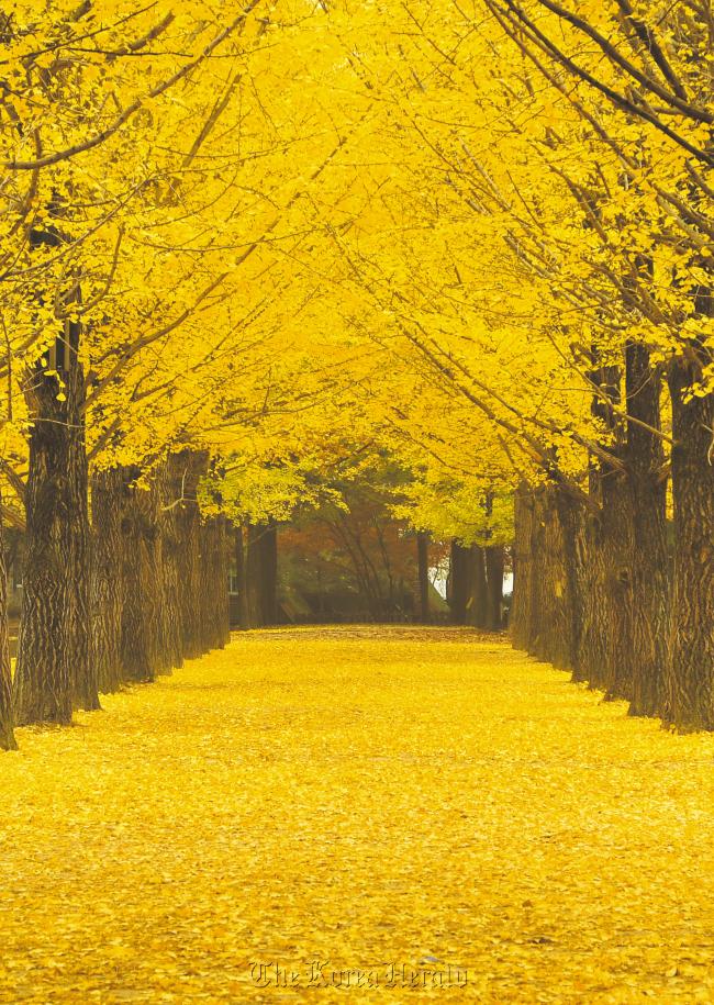 A gingko tree-lined path on Nami Island. (The Naminara Republic)