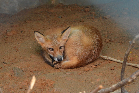 One of the two red foxes released into the wild on Sobaeksan. ( Environmental Ministry)