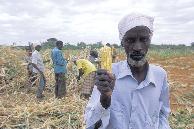 A laborer holds up an ear of corn during harvest on a farm in Africa in this undated file photo. (AP-Yonhap News)