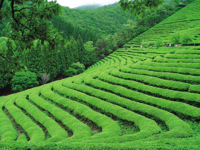 One of the green tea fields at the Daehan Tea Plantation in Boseong, South Jeolla Province (Boseong District Culture and Travel Center)