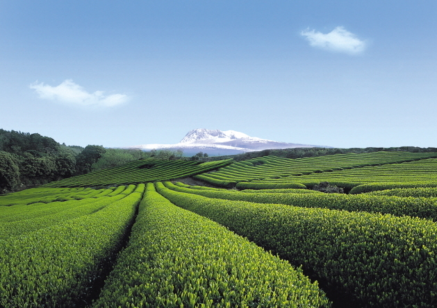 View of the Seogwang Tea Field on Jeju Island (O'Sulloc)