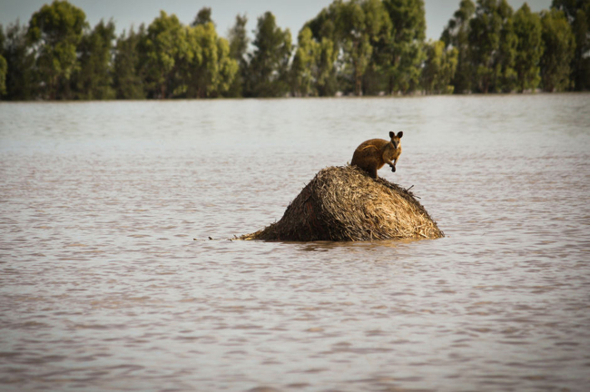 A wallaby stands on a large round hay bail trapped by rising flood waters outside the town of Dalby in Queensland, Australia, in this Dec. 30, 2010, file photo. (AP-Yonhap News)