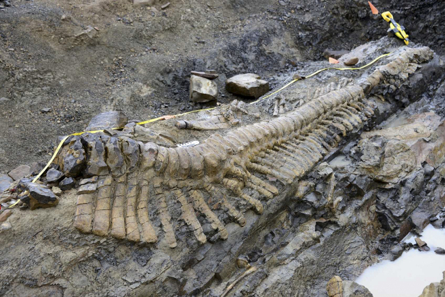 The tail of a dinosaur is uncovered at a dig site near the town of General Cepeda in northern Mexico on Monday. ( AP-Yonhap News)