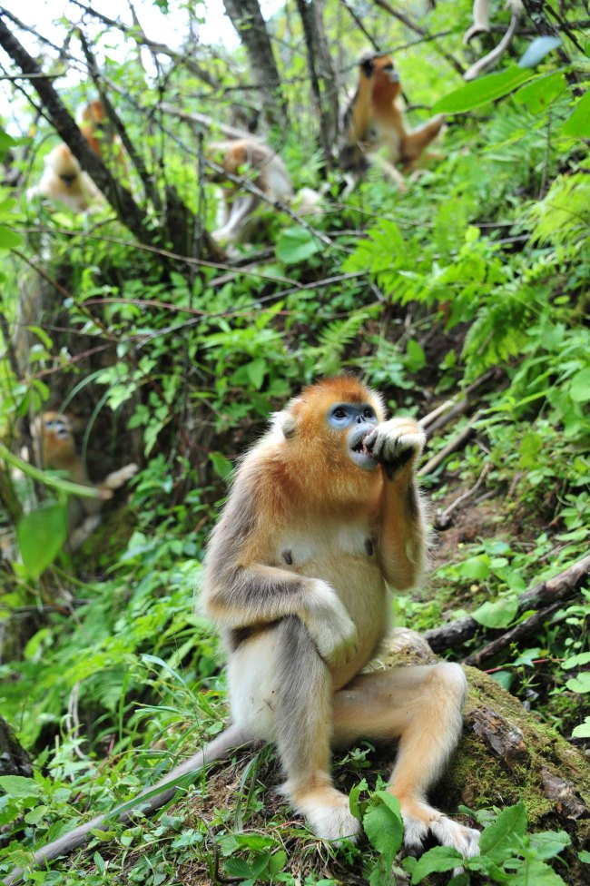 Wild golden monkeys at the Shennongjia Nature Reserve in China's Hubei province (Xinhua-Yonhap News)
