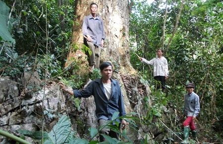 Dao ethnic man Phung Van Pham (front) stands by an ancient Burretiodendron Hsienmu tree that he saved from illegal loggers. ( Viet Nam News)