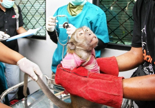A monkey seized from an itinerant circus group undergoes a health check at the Animal Health Agency office in Jakarta on Wednesday. (The Jakarta Post)