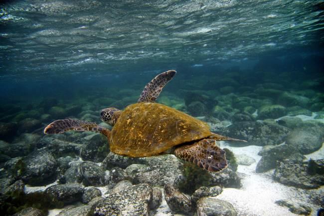 A Green sea turtle (Chelonia mydas) swims underwater near San Cristobal island, Galapagos archipelago.(AFP-Yonhap News)