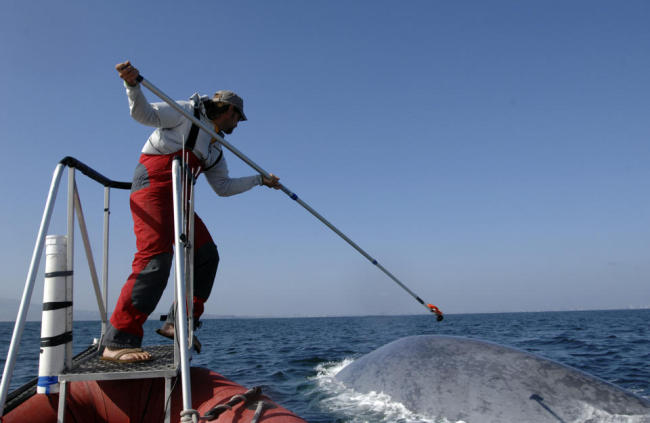 This undated image provided by the SOCAL-BRS project shows a researcher tagging a blue whale off the coast of Southern California. (AP)