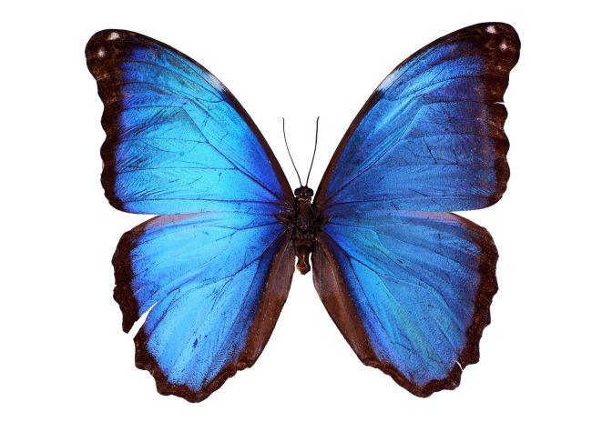 The Menelaus Blue Morpho. (123rf)