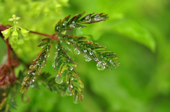 The leaves of Mimosa pudica close up when touched by rain, using a mechanism that could be transferred to robotics. (123rf)
