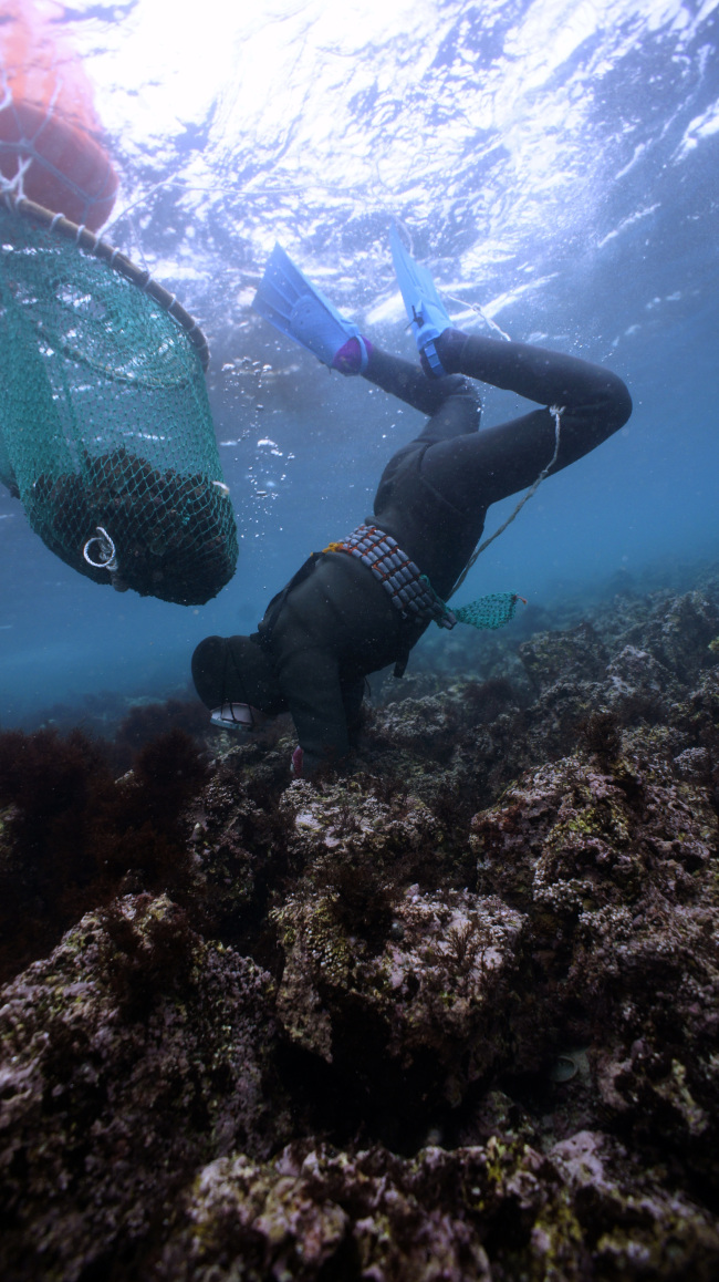 A haenyeo searches underwater for marine products in the waters off Jocheon-eup, northern Jejudo Island. (Haenyeo Museum)