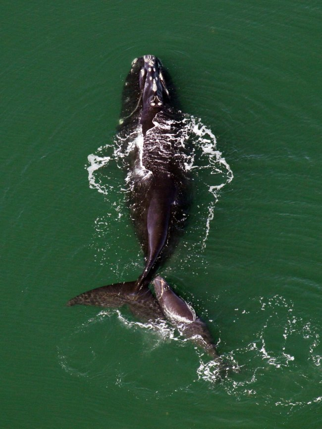 A North Atlantic right whale (MCT)