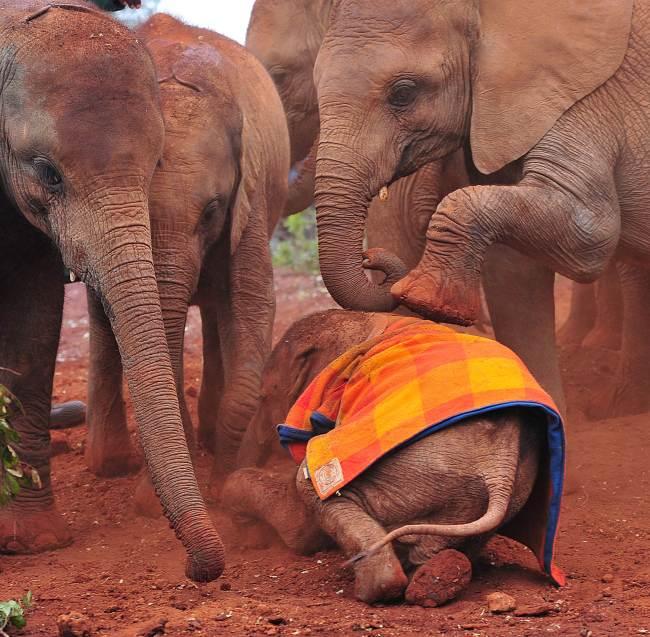 Orphaned baby elephants play at the David Sheldrick Elephant Orphanage, in the Nairobi National Park in Kenya. (AFP-Yonhap)