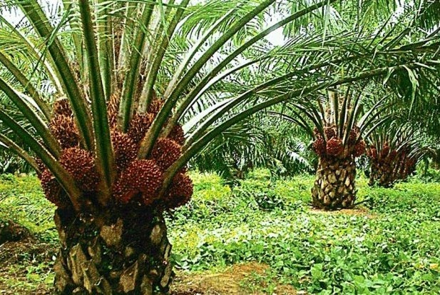 Malaysia is at the forefront of sustainable palm oil production, said Malaysian Palm Oil Council chairman Datuk Lee Yeow Chor. (The Star)