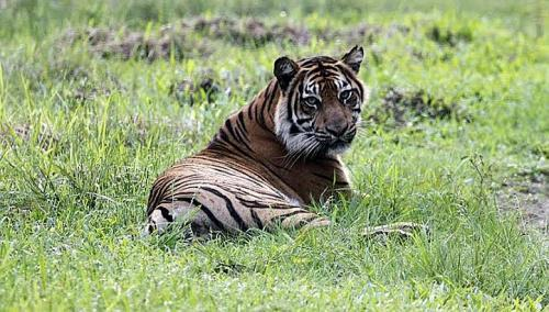 Sumatran tigers have been released into Indonesia's Tambling Wildlife and Nature Conservation Area. (Tambling Wildlife Nature Conservation)