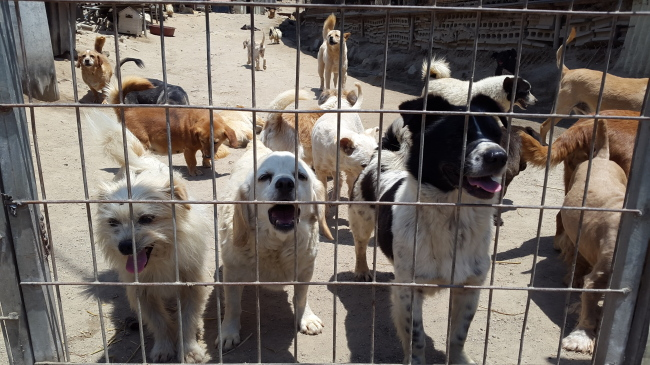 Dogs wait in their enclosure at animal shelter Aerinwon in Pocheon, Gyeonggi Province, Wednesday. (Ock Hyun-ju/The Korea Herald)