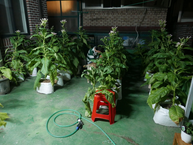 Virginia tobacco plants grow on the rooftop of Kim So-cheol's studio in Mapo-gu, Seoul. Courtesy of the artist