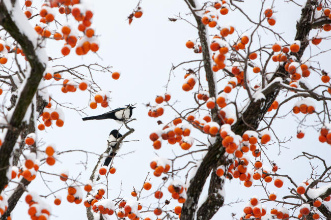 A persimmon tree at Seonunsa Temple in Gochang, North Jeolla Province. (Korea Tourism Organization)