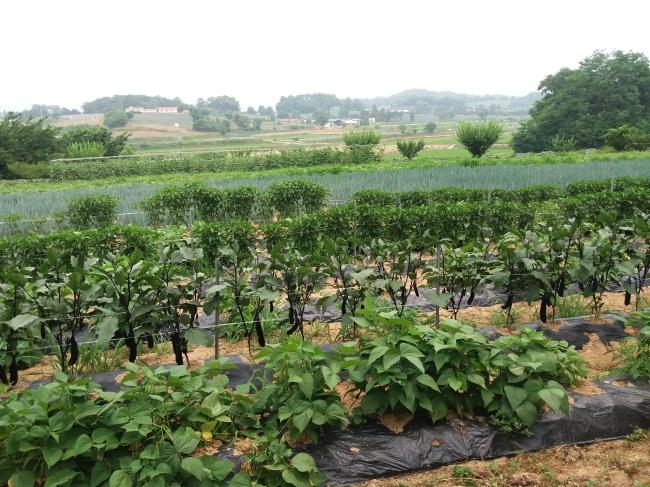Organic farming in Anseong, Gyeonggi Province (Christine Cho)