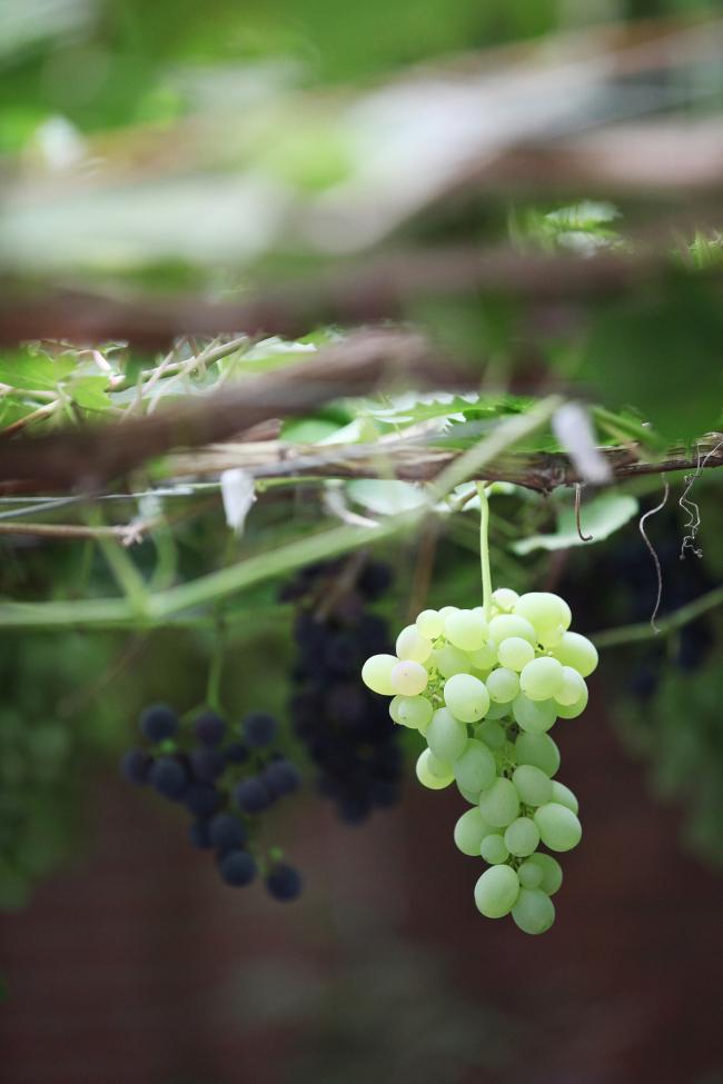 Grapes ripening at a winery run by Wine Korea in Yeongdong, North Chungcheong Province. (Korea Tourism Organization)