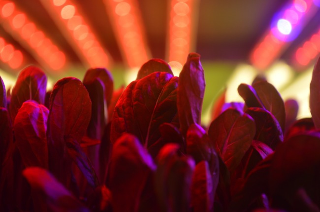 Greens growing under LED light. AeroFarms