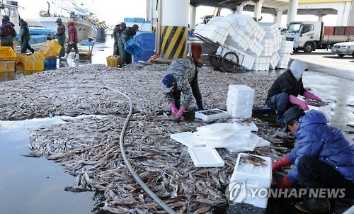 A photo taken Jan. 5, 2016, shows workers putting squids into boxes in the eastern port city of Gangneung. (Yonhap)