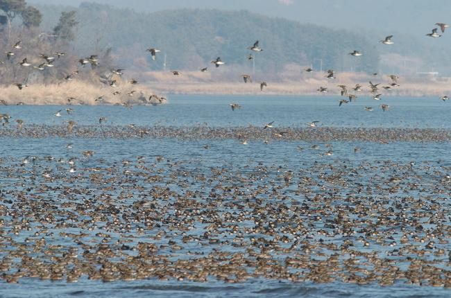 A flock of migratory birds flies over the Geum River. (Geumgang Migratory Bird Observatory)