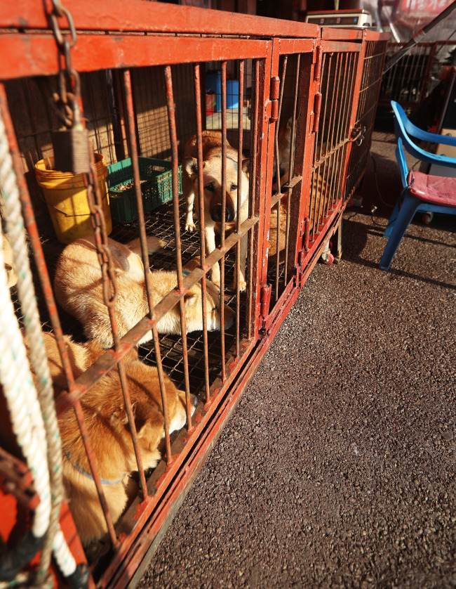 Dogs on sale to be slaughtered and consumed as food are seen inside a cage at Moran Market in Seongnam, Gyeonggi Province, Tuesday. (Yonhap)