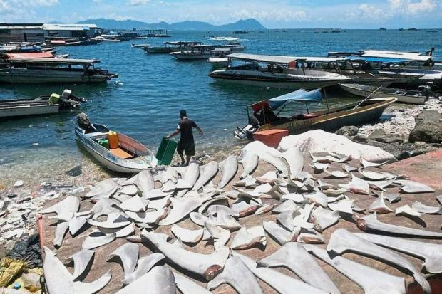 A fisherman lays out shark fins and tails at the Semporna jetty in Sabah. The Star