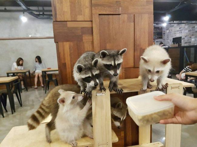 Raccoons are perched on a ledge inside Raccoon Cafe. (Raccoon Cafe)